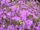 """Фото от Уманчанки """"Цветет рододендрон"""""""
