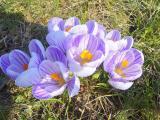 """Альбом от Уманчанки """"Весна 2009. Цветут крокусы"""""""
