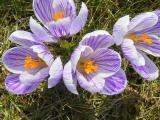 В весеннем парке крокусы цветут