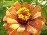 Цветут майоры у костела