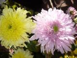 Дети солнца - хризантемы