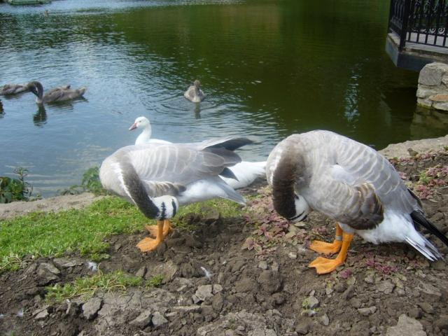 Веселые гуси