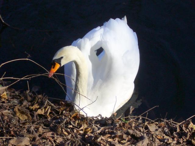Лебединый реверанс