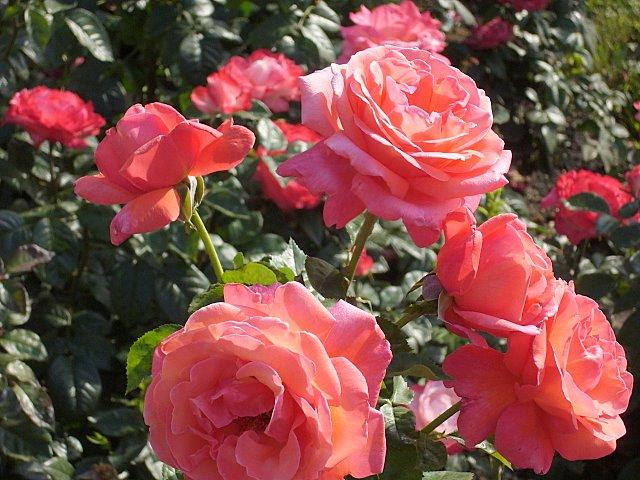 Уманские розы