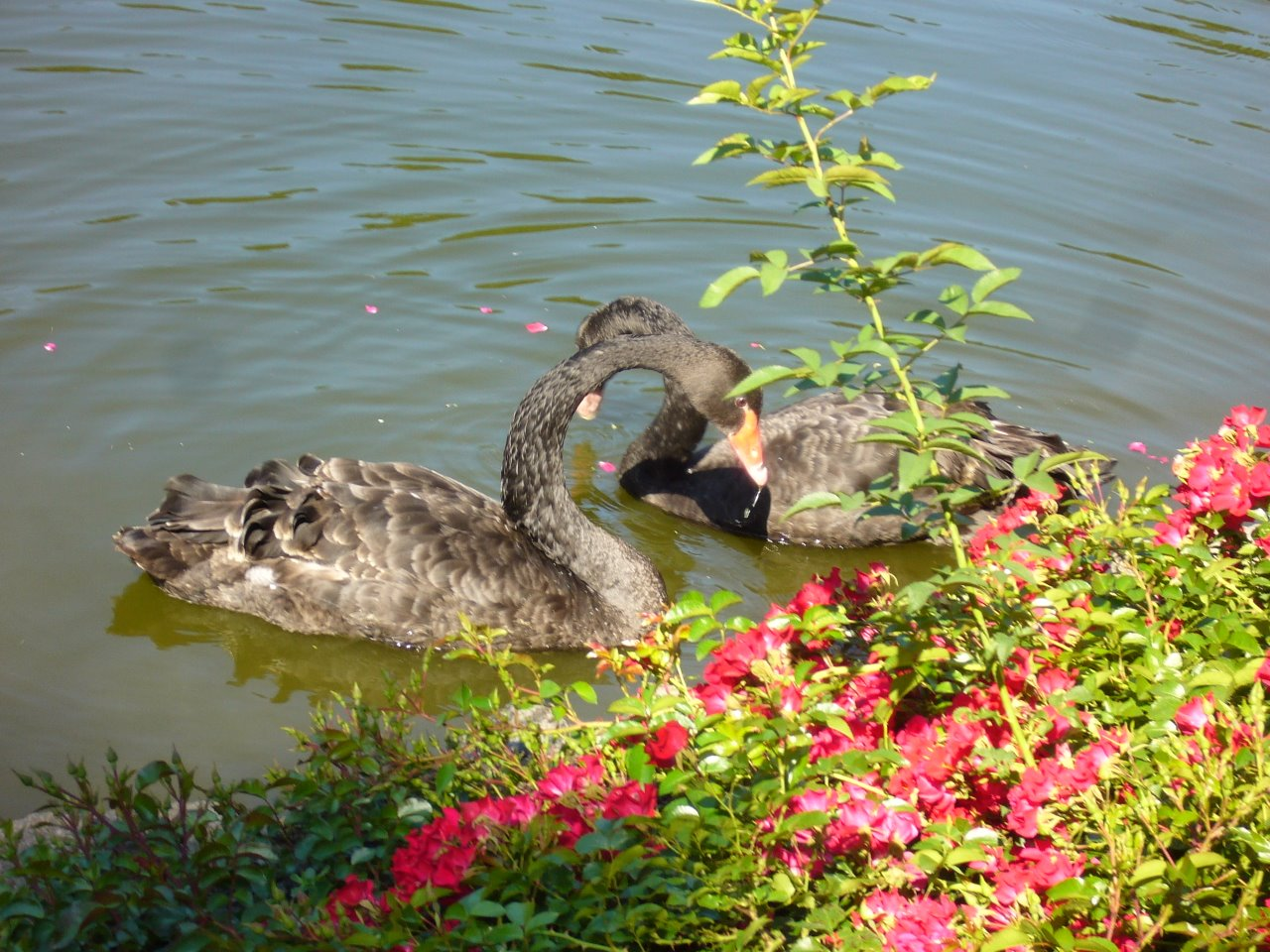 Танец черных лебедей